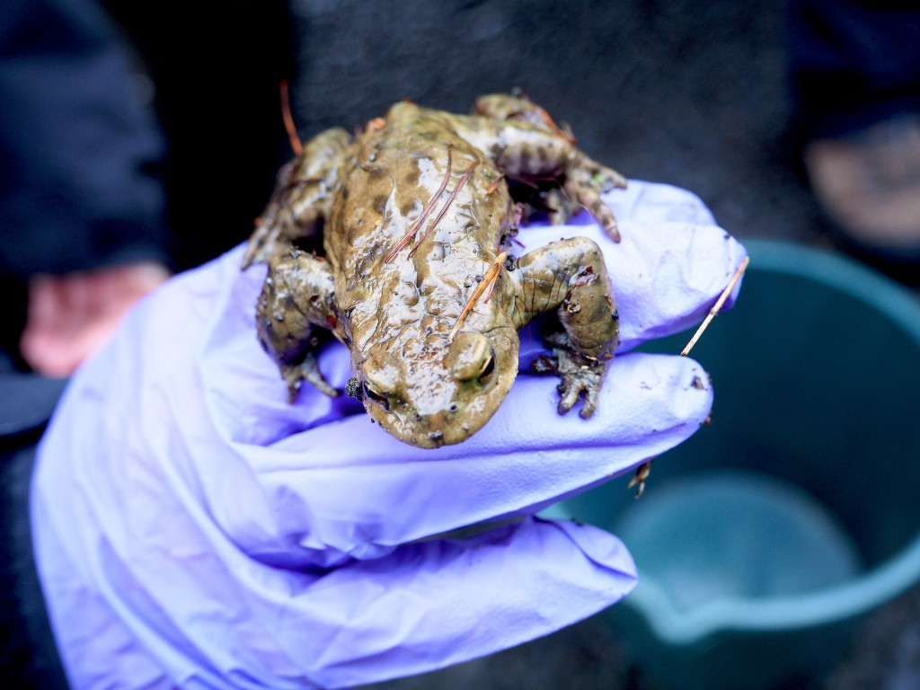 A gloved hand holding a toad