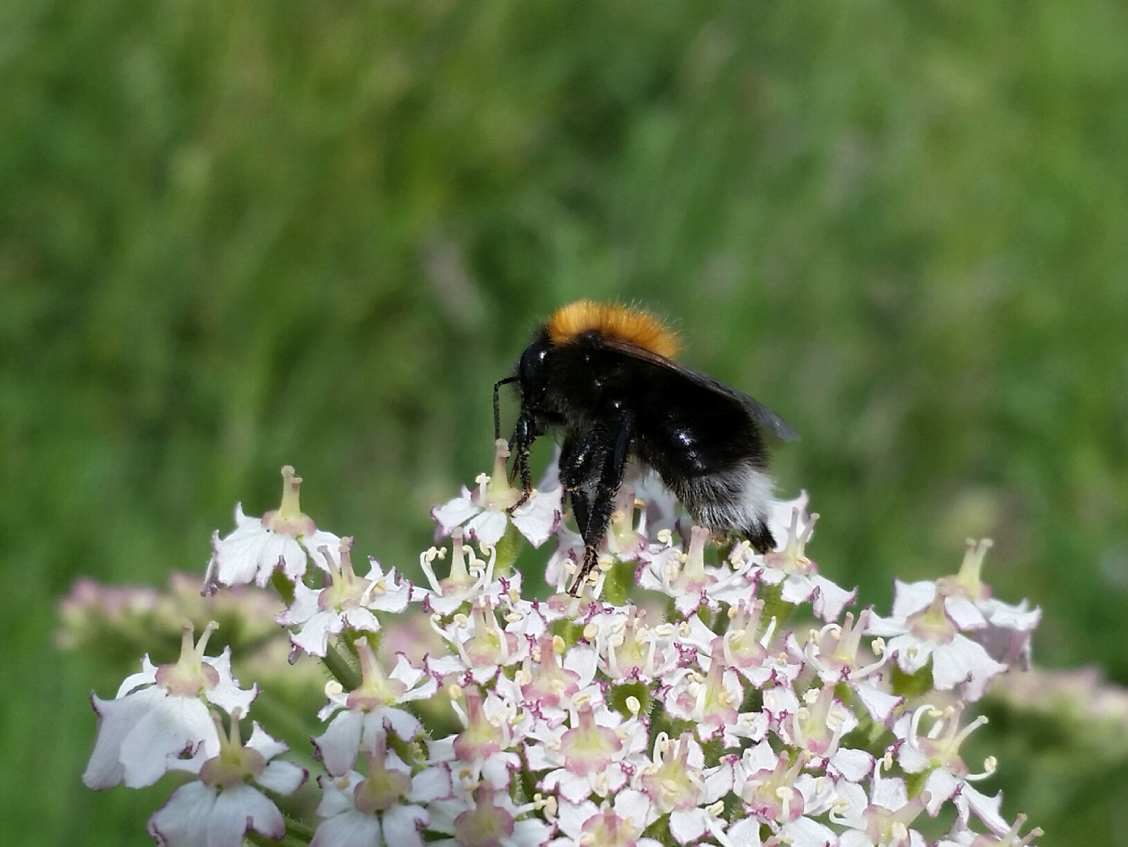 A Tree Bumblebee in Holyrood Park