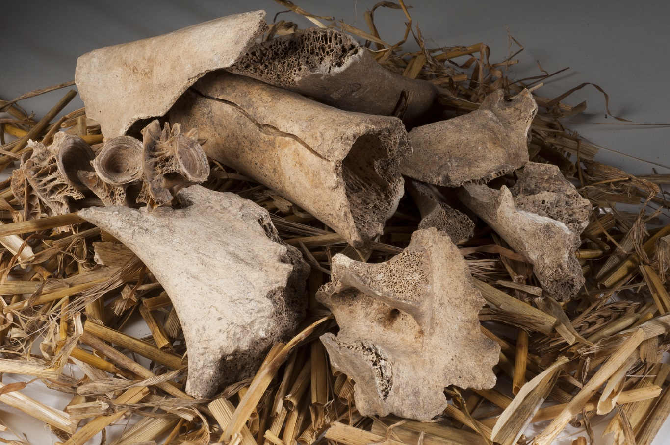 A pile of animal bone fragments found at Urquhart Castle.