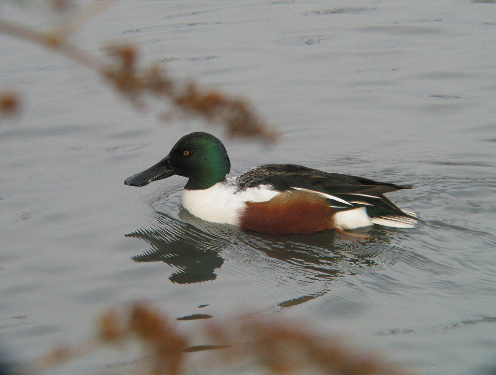 Shoveler © Graham Checkley