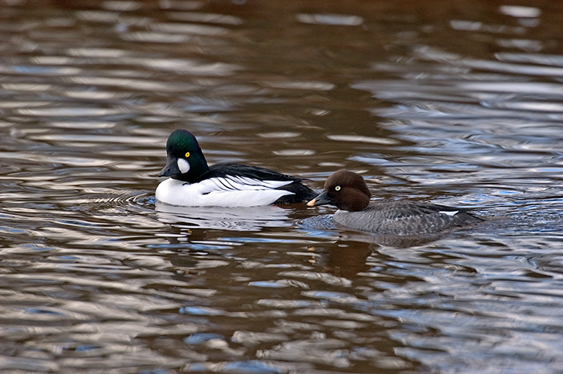 Male & female Goldeneye © Graham Checkley