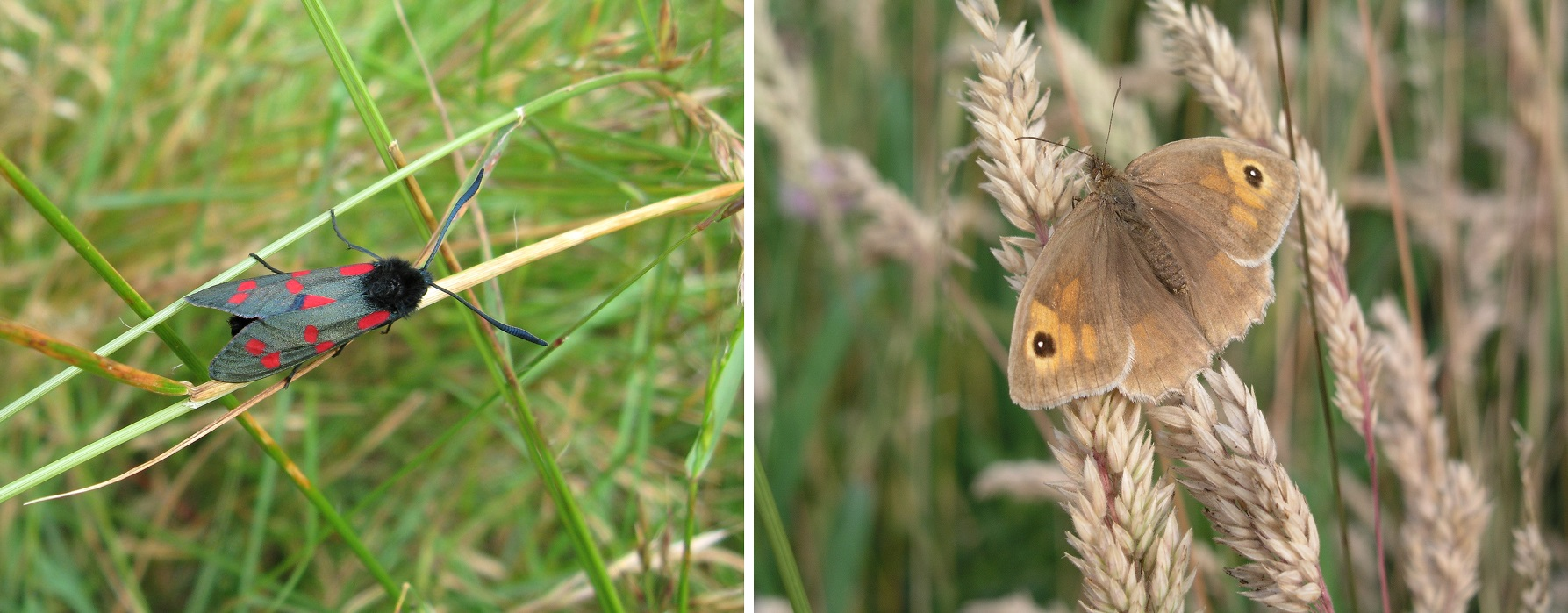 The 6-Spot Burnet Moth and the Ringlet Butterfly