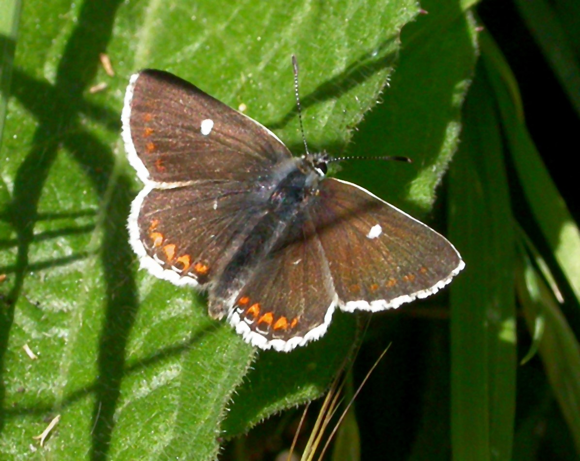 Northern Brown Argus.