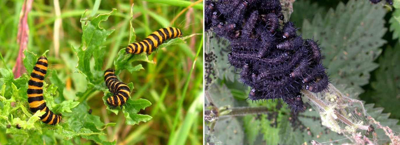 cinnabar and peacock caterpillars