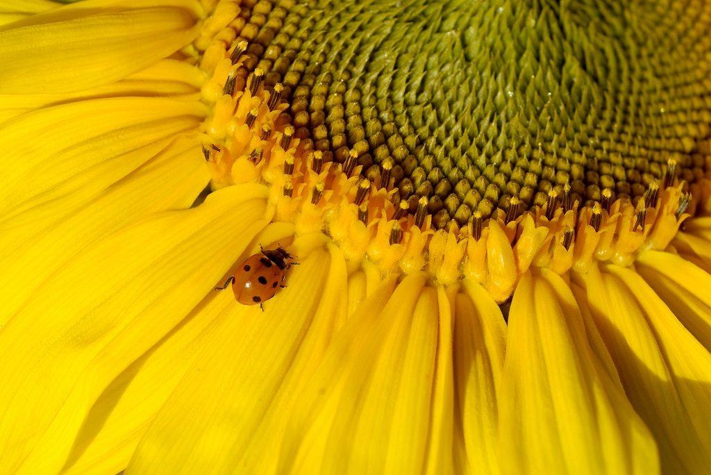 Ladybird at Seton