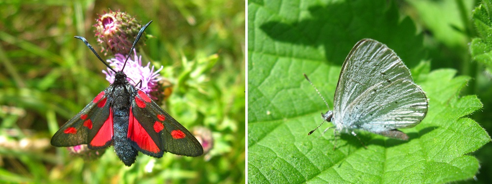 Narrow Bordered 5-Spot Burnet moth and Holly Blue butterfly.