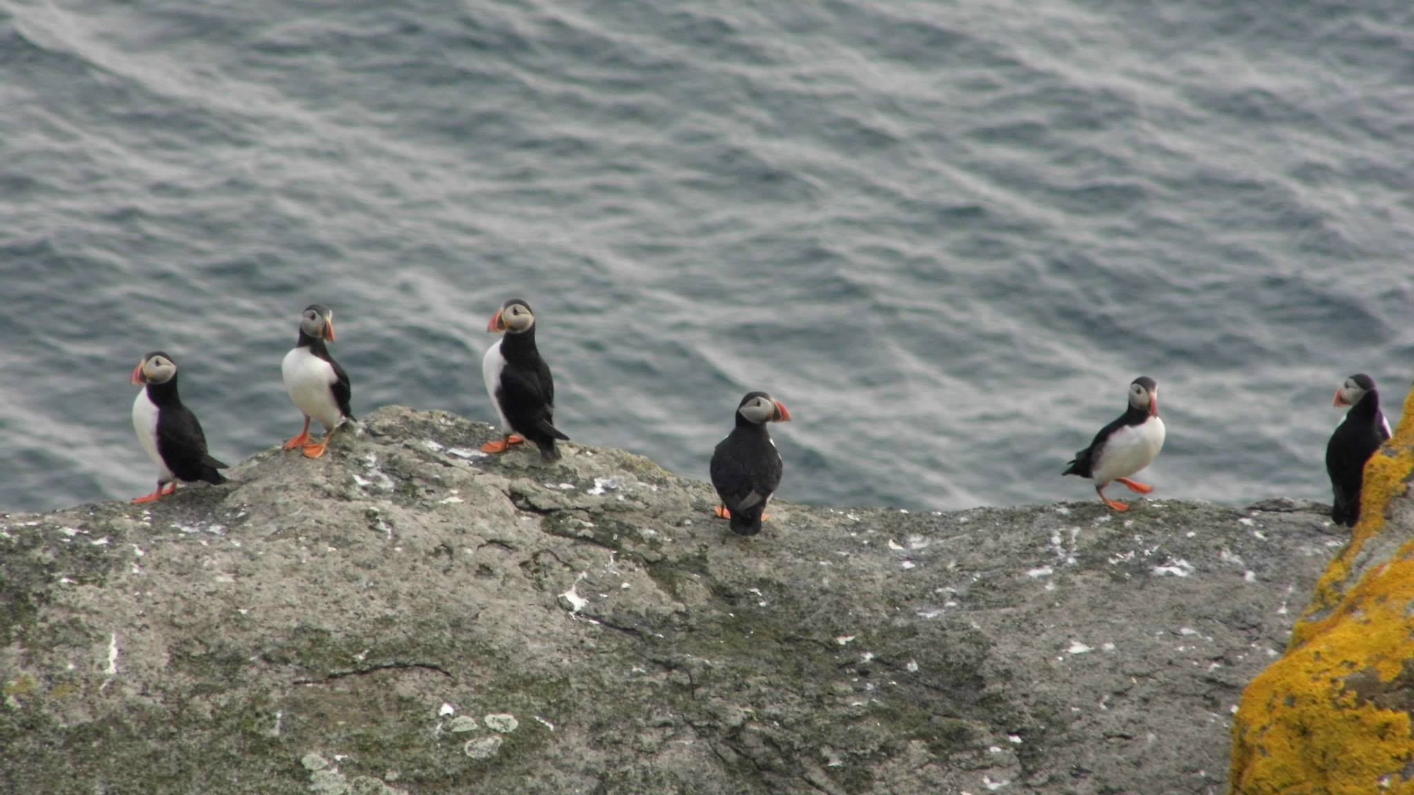 Puffins on St Kilda