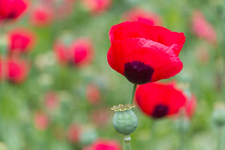 detail of a red poppy in a field