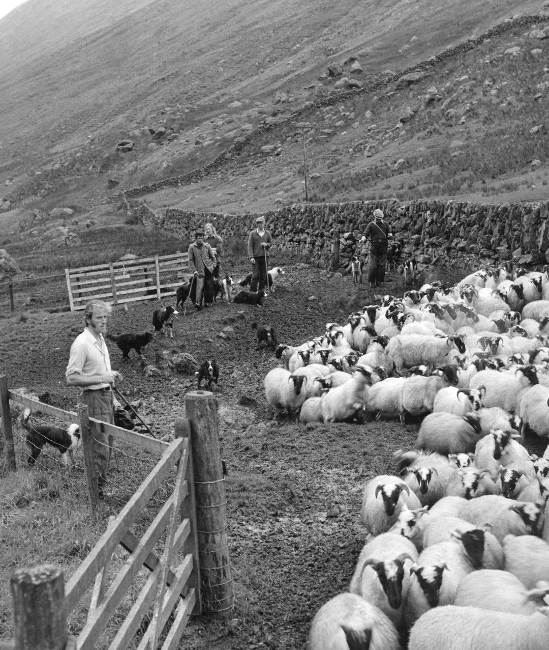 shepherds stand in a line with dogs as they herd a flock of sheep