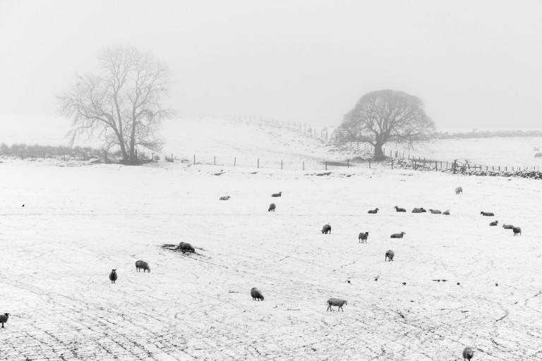 snowy field with sheep grazing and two trees in the distance