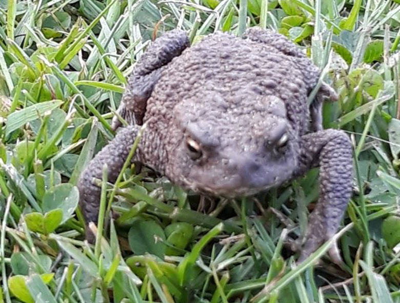 photo of a toad on a lawn