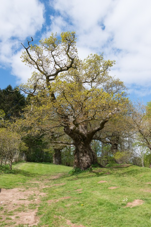 Cadzow Oaks (Quercus Robur) growing in Chatelherault Country Park