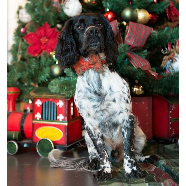 A dog sitting in front of a Christmas tree wearing a tartan bow tie