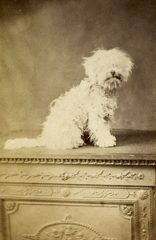 A small white dog posing for an early photograph