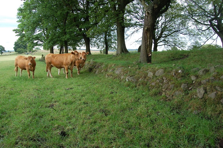 A group of cattle in a field close to remains of the Antonine Wall
