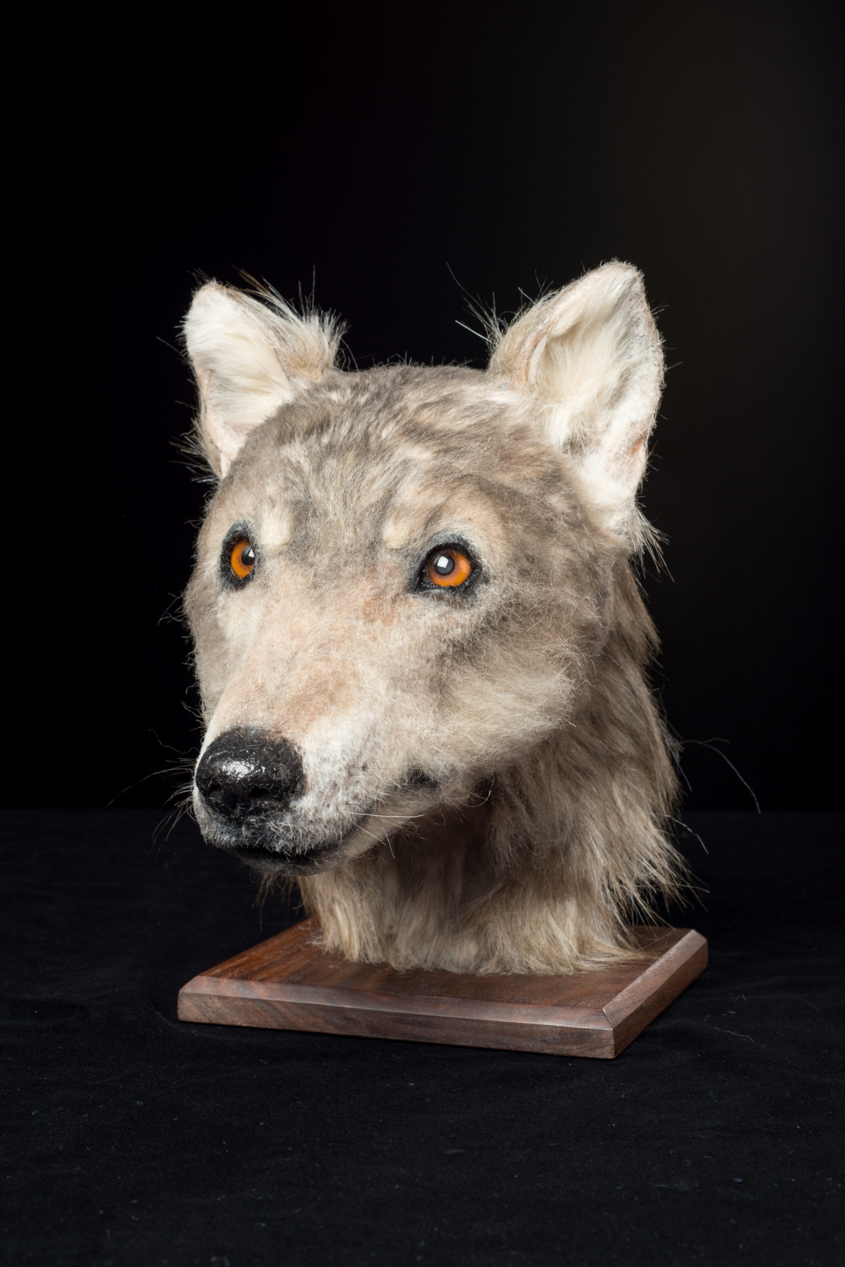 The head of a reconstructed dog